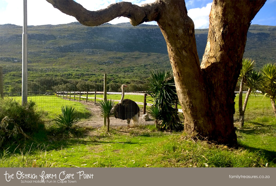 The Cape Ostrich Farm