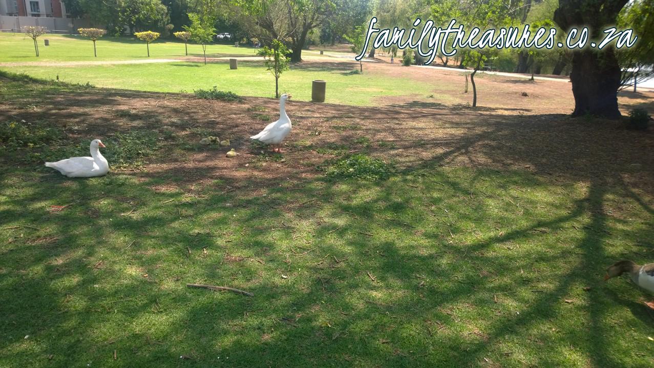 Joburg-trek-ducks copy
