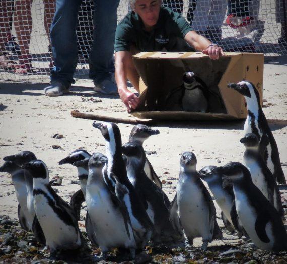 2019 Annual Penguin Festival in Simon's Town