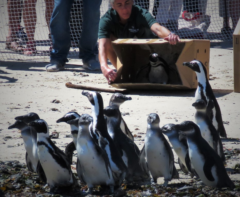 2019 Annual Penguin Festival in Simon's Town